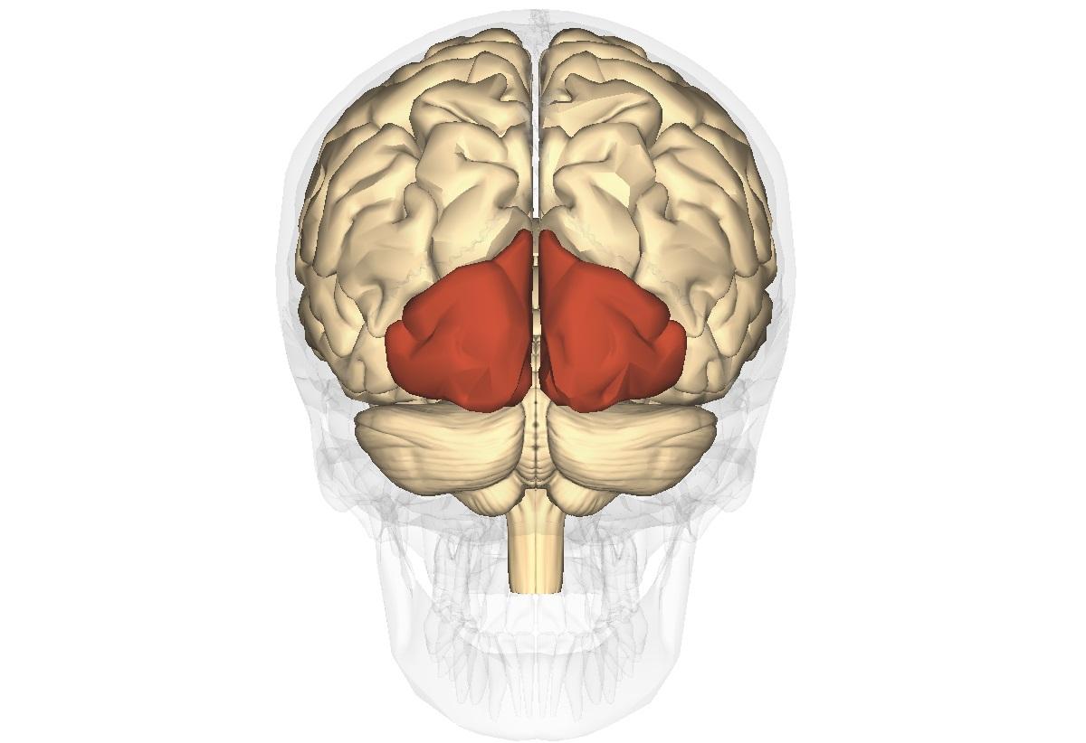 rolul creierului în viziune ochelari foto pentru vedere