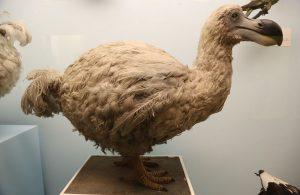pasarea-dodo