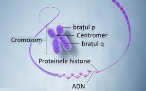 cromozom
