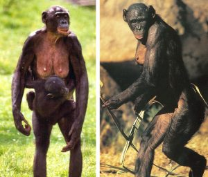 bonobo6