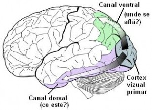 cortex-vizual2