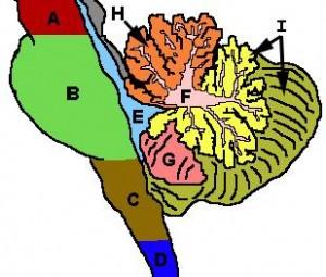regiuni-cerebel