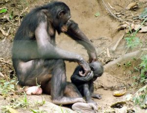 bonobo4