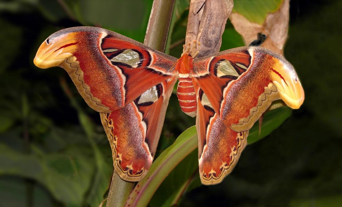 Insecte uriase – Attacus Atlas