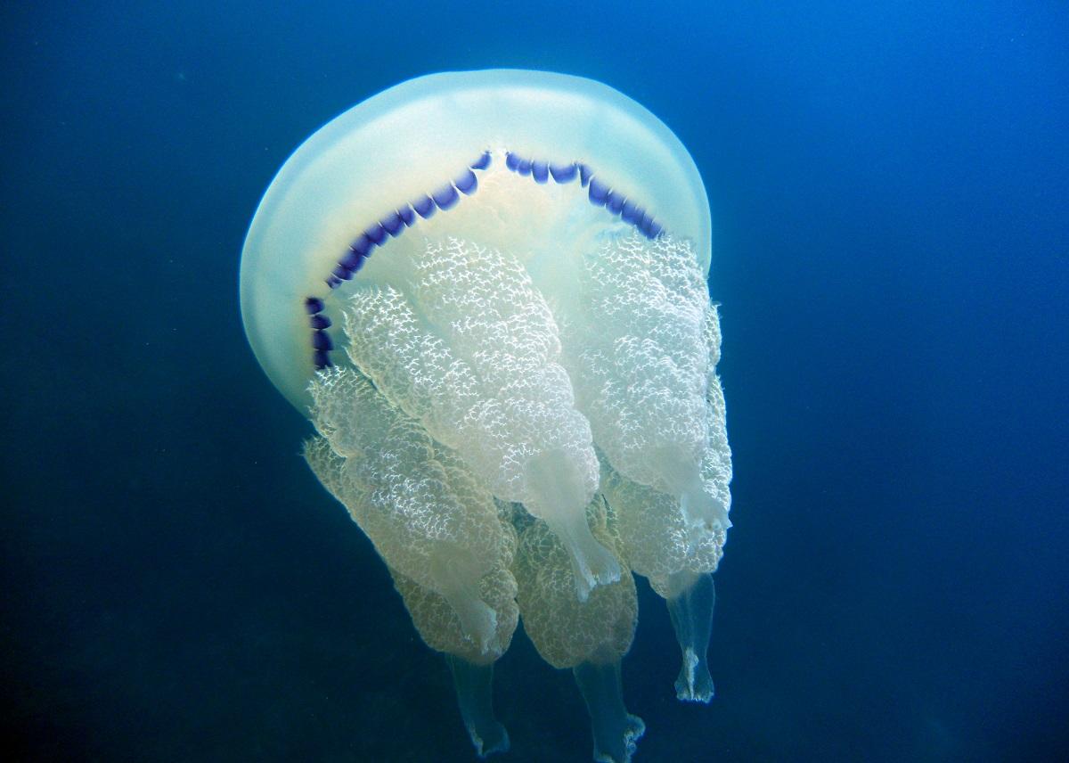 Curiozități despre meduze