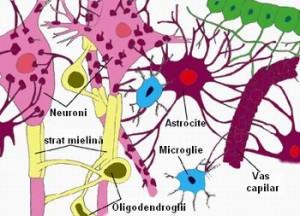 celule-gliale-si-neuroni