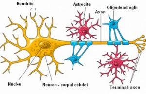 neuron-si-celule-gliale
