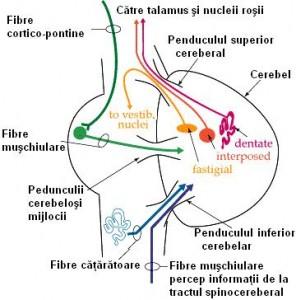 schema-cerebel
